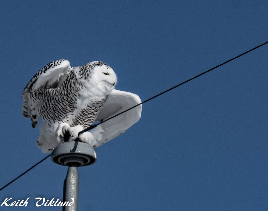 When you take your father out for a afternoon in Alberta and he wants to see some Snowy Owls you ...