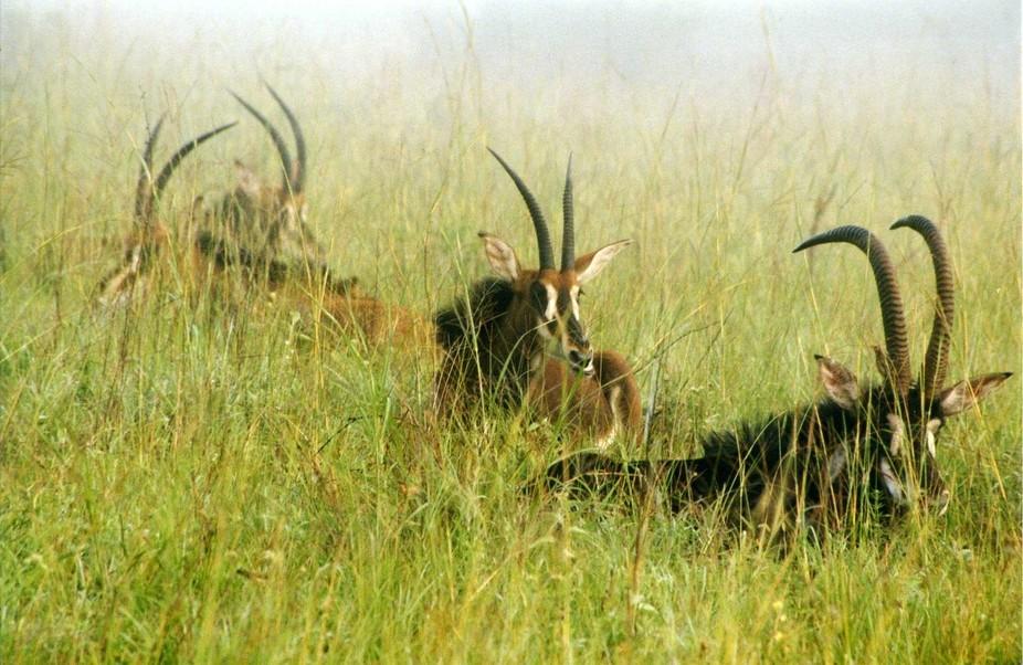 Sable Antelope, Shimba Hills, Kenya