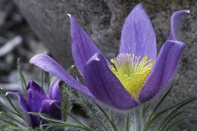 pasque flowers and rock