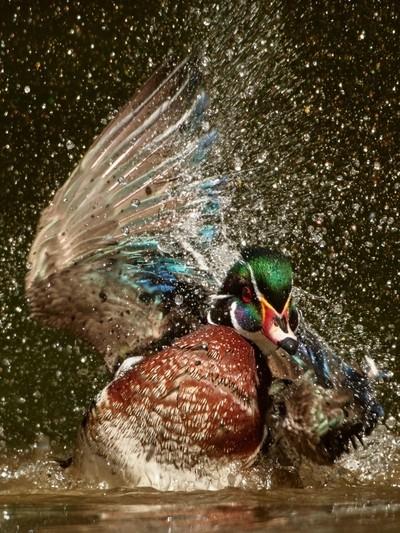 Bathing Drake