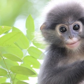 Young Dusky langur taken at the Wildlife Friends Foundation of Thailand Hospital.