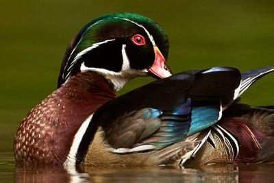 A Colorful Drake