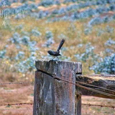 Willy Wagtail on a fence post #australiagram #focusaustralia #ig_discover_australia #australia_shotz #ig_down_under #ig_creativephotography #instalike #ig_aussiepix #1more_australia #australiacolors #australiasSW #birdsofinstagram #treesofinstagram #barbe