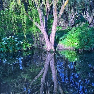 Reflections #australiagram #focusaustralia #ig_discover_australia #australia_shotz #ig_down_under #ig_creativephotography #instalike #ig_aussiepix #1more_australia #ballarat #discovervictoria #reflections #water #waterview #waterofinstagram #willowtree #t