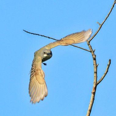 Thick-billed kingbird IMG_0317