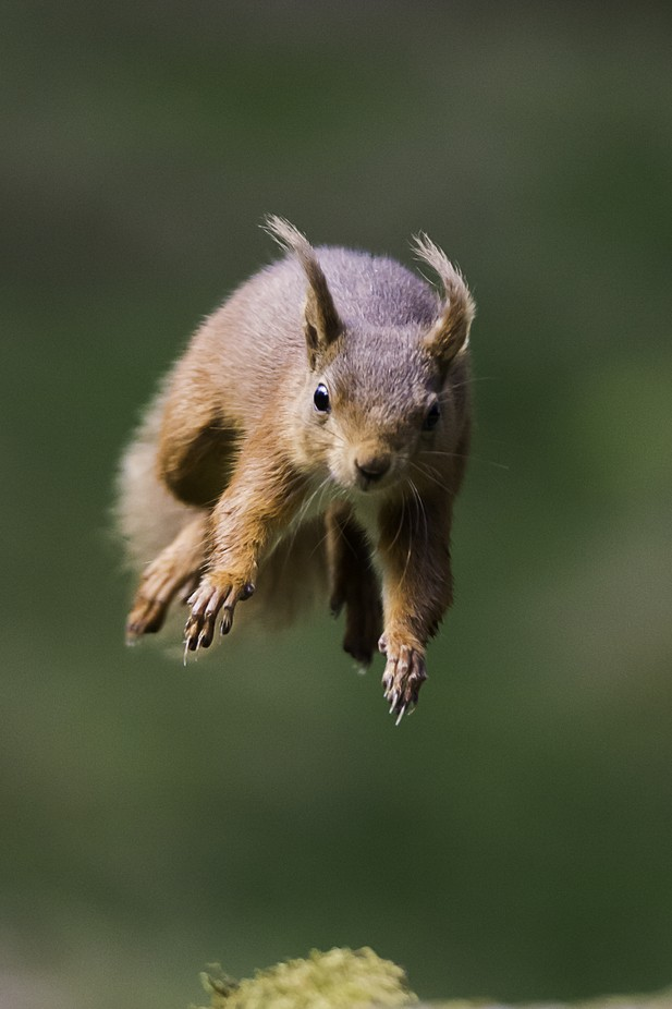 red squirrel jumping copy by jimburton - Image Of The Month Photo Contest Vol 22
