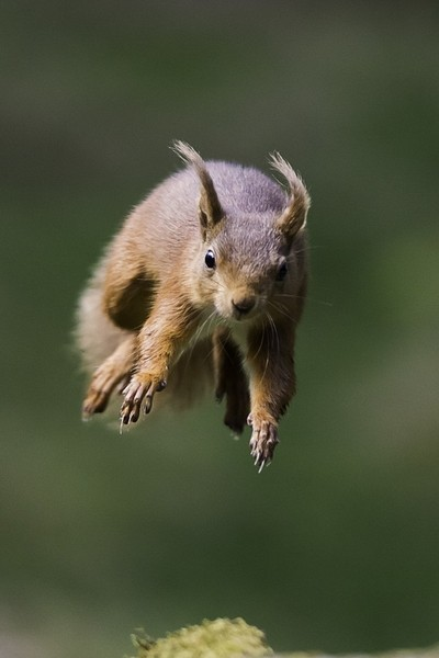 red squirrel jumping copy