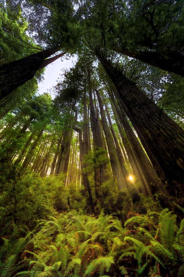 Forest Glow by brianadamson - Tall Trees Photo Contest