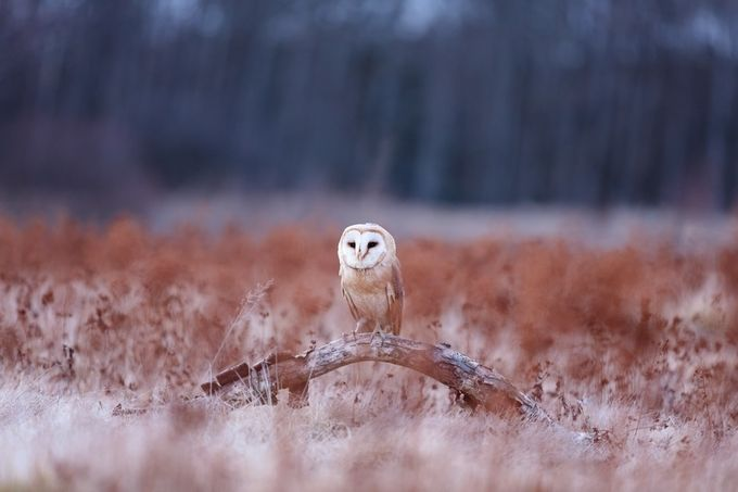 Barn Owl by LPonTour-ErikaValkovicova - Only Owls Photo Contest