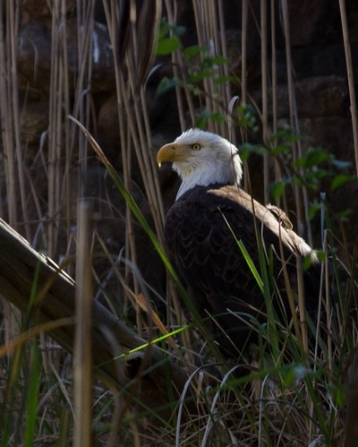 Eagle From the Reeds