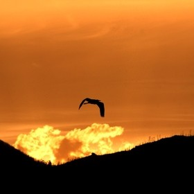 Heron Flying into the Sunset