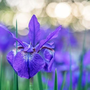 Siberian Iris Field