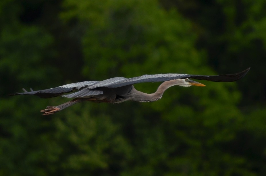 A beautiful bird with an impressive wingspan, it is incredibly graceful in flight.  John H. Kerr ...