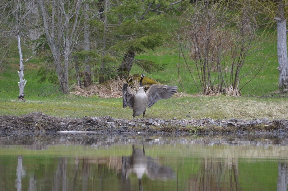 canada goose spreading it wings