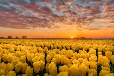 Sun kissed yellow tulips