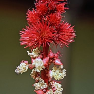 DSC_8155 (2)  Red Flower from Scotland