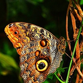 Owl butterfly relaxing on some vines