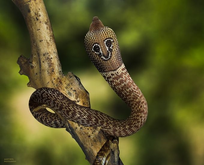 Spectacled Cobra by Aadit - Wildlife Photo Contest 2017