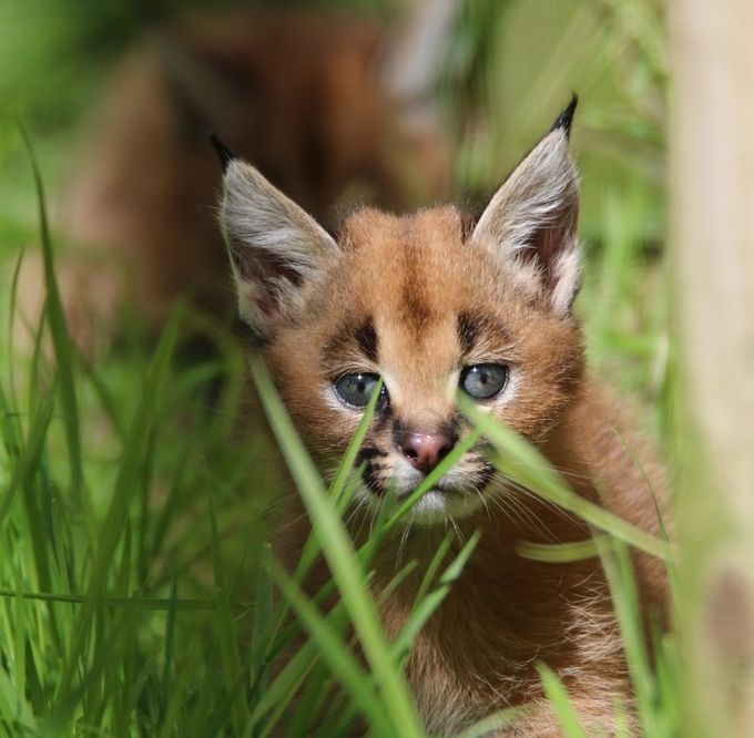 caracal kitten by martynbennett - Small Wildlife Photo Contest