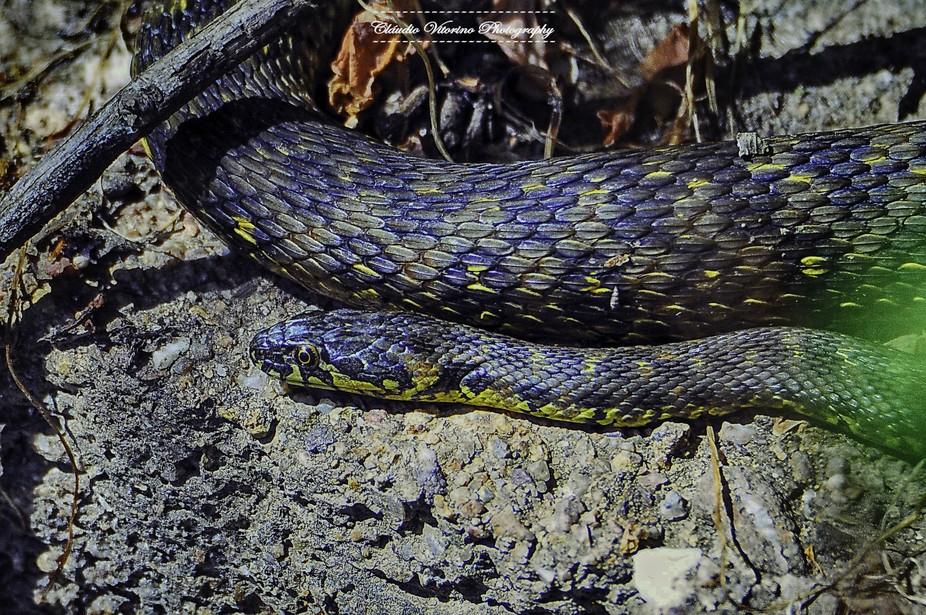 Natrix maura (Viperine Snake)