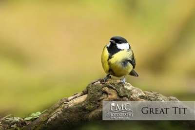 Lovely Great Tit; captured at a forest in Co Donegal, Ireland. Captured with Sigma 120-300 f2.8 OS & 7d Mark 2 with 10% crop.