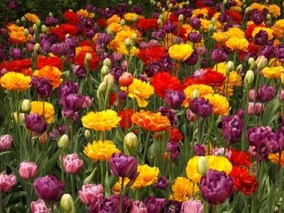 All Double Tulip Heaven