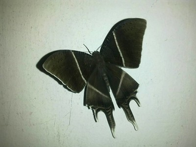 Nightly butterfly, hand sized