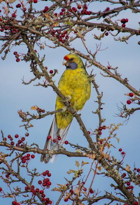 Tasmanian Green Rosella eating the Autumn berries.