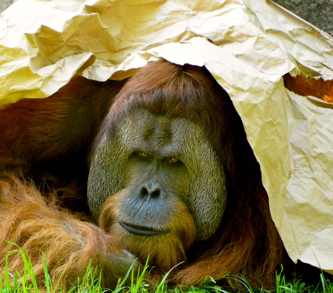 This is Henry he is a Sumatran Orangutan. He has a ton of personality.