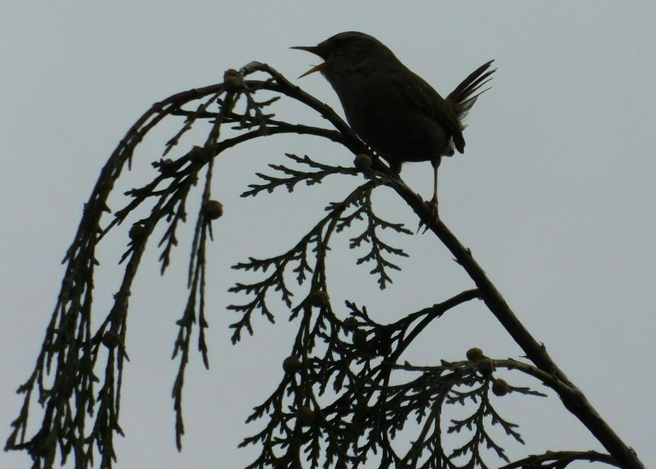 Evening song bird, the evening chorus