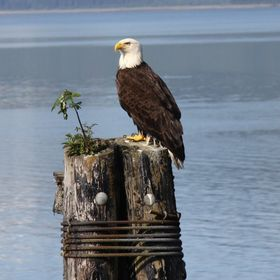 I saw this eagle before I started to walk down the pier towards him with my camera ready as I knew he would eventually fly off when I got too clo...