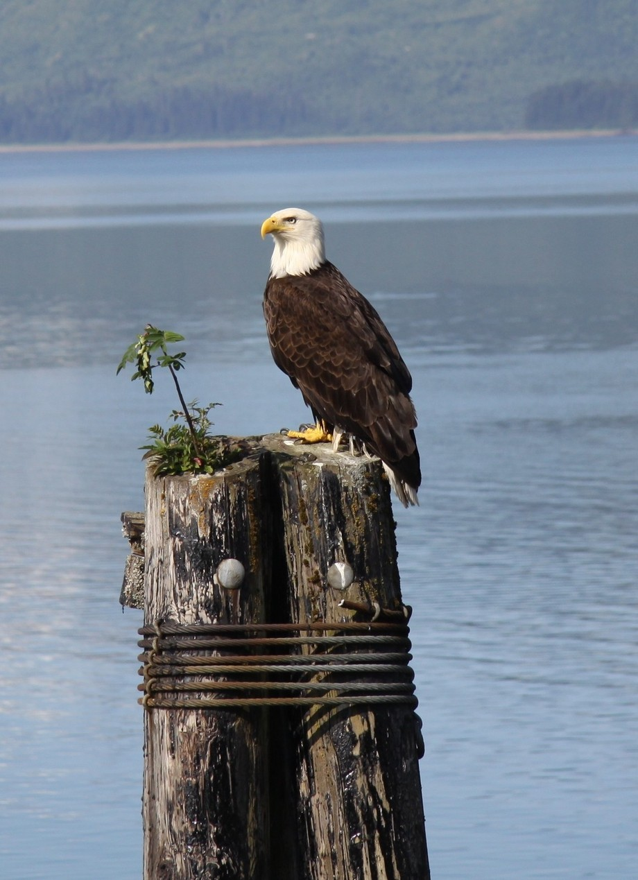 American Bald Eagle by farnsys - Majestic Eagles Photo Contest