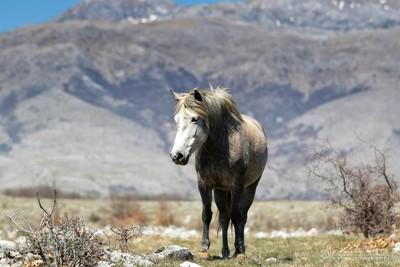 Wild mare in Bosnia - Goranci