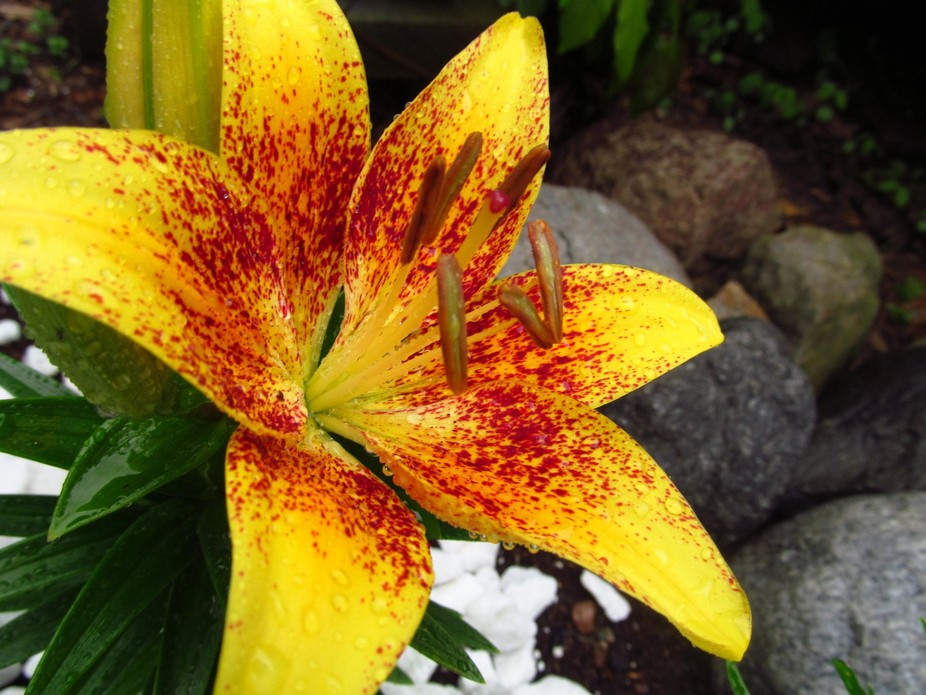 Paprika Sunrise Lily