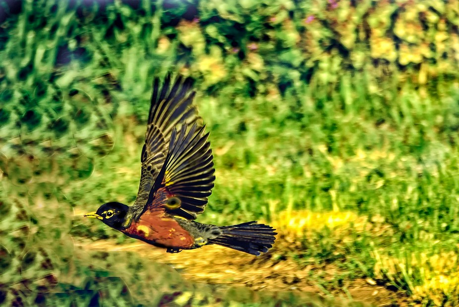 Rare 'Sharp' capture of a Robin Taking Flight as I was shooting Him.