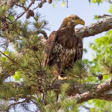 Juvenile Eagle close up. He was not afraid and I took pics for at least 10 minutes. He had no interest in leaving