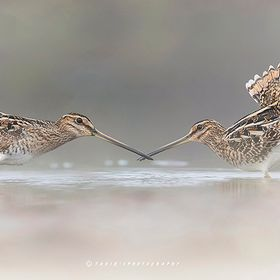 fight of common snipe