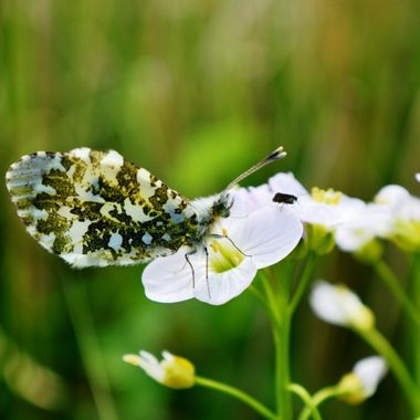Female Orange Tip Butterfly on a Lady's Smock Flower with a visitor.