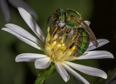 Metallic Green Bee on Flower