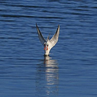 Tern diving IMG_1473