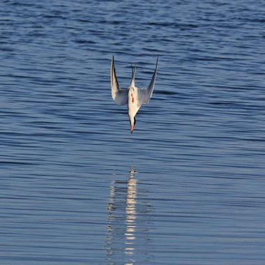 Tern diving IMG_1805