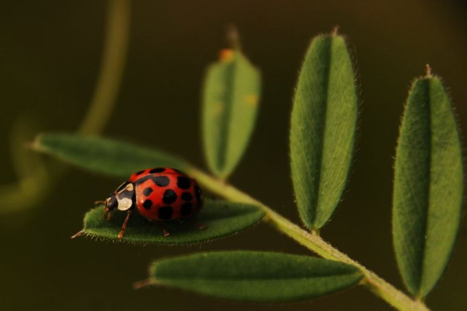ladybird 3 by podson9 - Macro Games Photo Contest