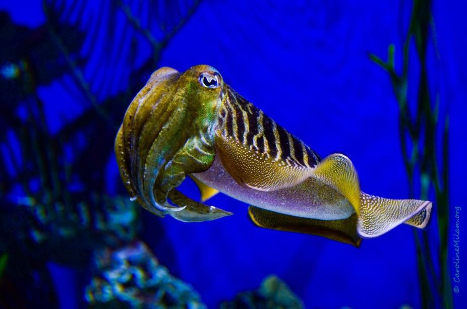 A cuttlefish is observed at an aquarium.