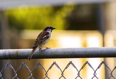 Fence Finch