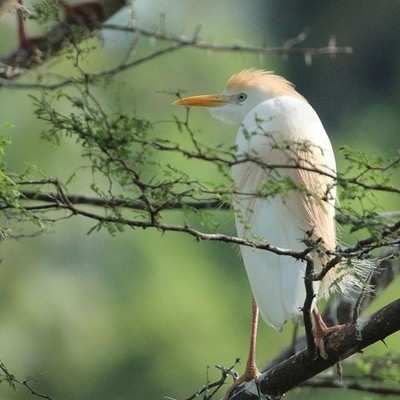 Cattle Egret (Bubulcus Ibis) on the Guadeloupe island (Caribbean)