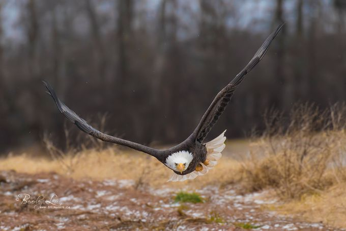Eye On The Target by beverleylu - Just Eagles Photo Contest