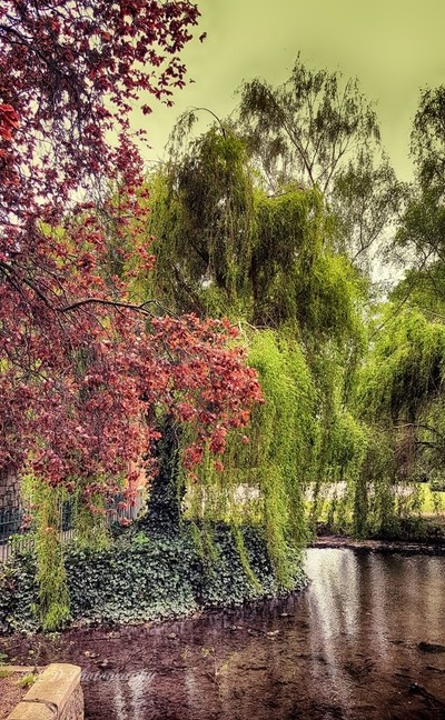 Weeping Willows by the Church