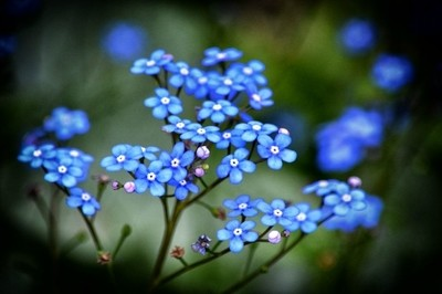 Forget-me-nots 2017