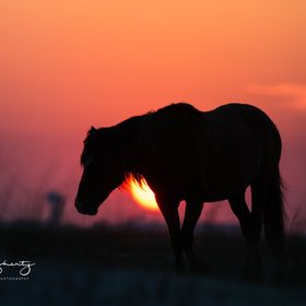One member of the wild herd of horses that live completely wild and free on the outer banks islands in North Carolina.  Wonderful experience to w...