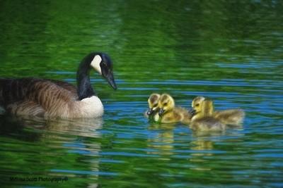 Mama Watching Her Babies...